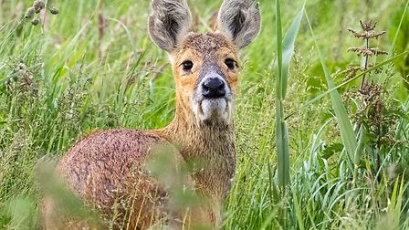 Hare coursers could be turning their attentions to deer Picture: Robin Waters