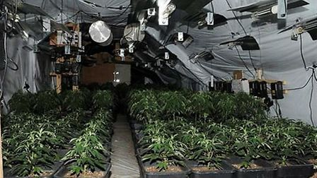 The cannabis plants discovered in Ditchingham, near Bungay. Picture: Norfolk Police