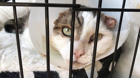 Bubba, the five year old cat, was mutilated in a horrifying attack where both of his ears were cut o