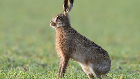Four men have been arrested following a hare coursing incident in Winfarthing. Picture: Nick Appleto
