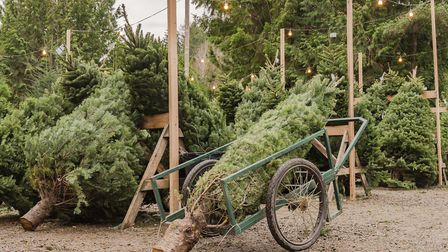 Fresh Christmas trees have a much smaller carbon footprint than artificial trees. Picture: Getty Ima
