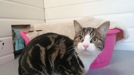 Snowley needs a home. Photo: RSPCA East Norfolk