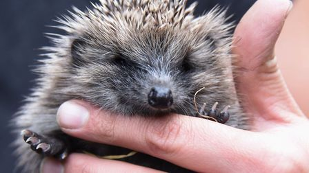 The University of East Anglia is hoping to create a better environment for hedgehogs on its campus.
