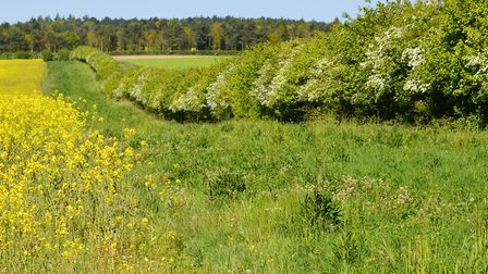 Wildlife-rich hedgerows, margins and woodland alongside a Norfolk arable field. Picture: Chris Hill.