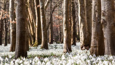 There are plenty of places to see snowdrops in Norfolk this year. Credit: Getty Images/iStockphoto/B