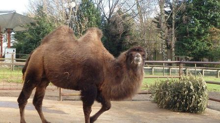Banham Zoo has been recycling Christmas trees as animal feed and bedding. Picture: Banham Zoo.