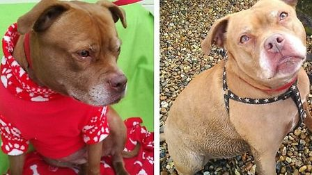 Rosie, a staffy-mastiff cross, has spent the last three Christmasses at Meadowgreen Dog Rescue. Can