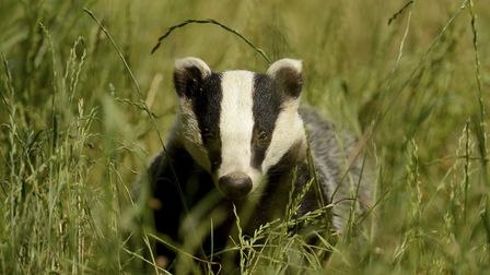 Environmental campaigners have raised fears for the welfare of bats and badgers. Photo: Archant