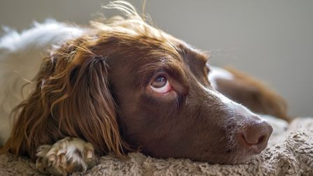 Vets in Norfolk are warning of a suspected dog virus outbreak. File pic. Picture: Getty Images