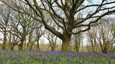 A bluebell woodland at Sotshole Broad next to Fairhaven Woodland and Water Garden. Picture: James B