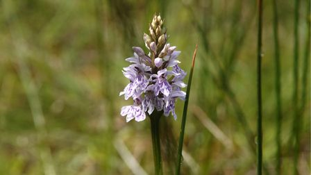Common spotted orchid on Beeston Common