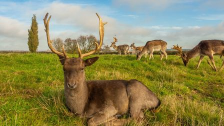 Some of the deer in the 18-acres of land surrounding Hill Farm in Massingham. Picture: Iceni Imaging