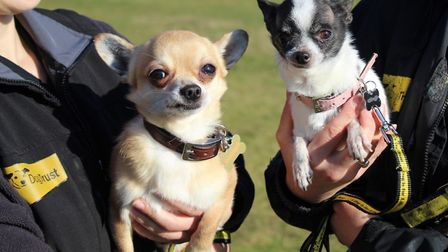 Aslan and Missy are two short-haired Chihuahuas and officially the smallest pooches Dog Trust, in Sn