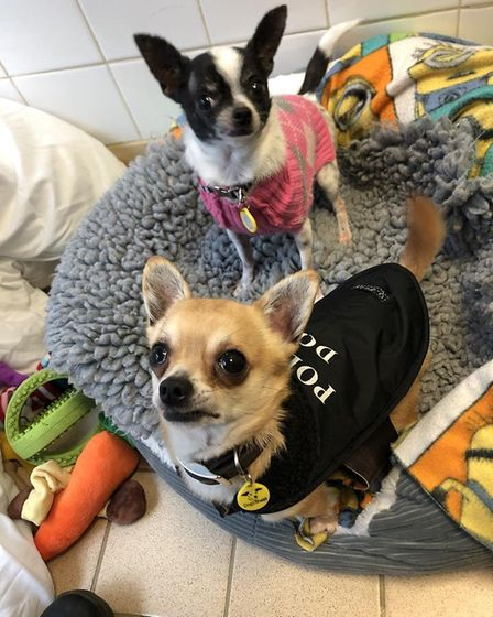 Aslan and Missy are two short-haired Chihuahuas are at Dogs Trust in Snetterton and are looking for