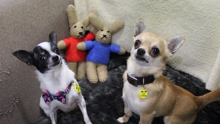 Aslan (right) and Missy (left) are two short-haired Chihuahuas are at Dogs Trust in Snetterton and a