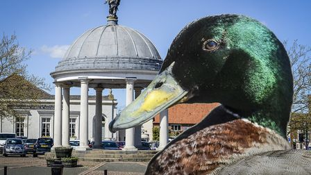 Swaffham Town Council will, once again, try to solve the problem of ducks messing on pavements, car