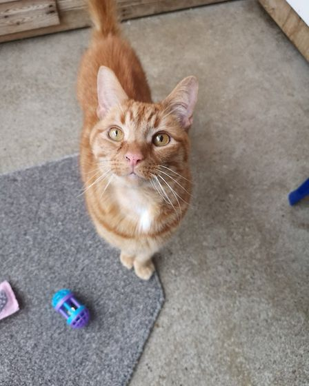 Four-year-old Jaffa at the Downham Market Cats Protection centre is in need of a new home with an ex