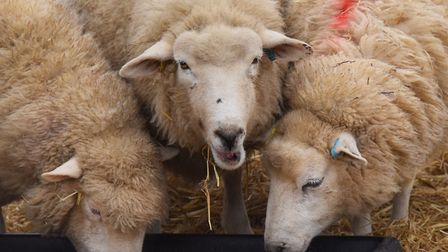 Newly arrived pregnant ewes at Wroxham Barns, some are expecting twins, and some triplets. Picture:
