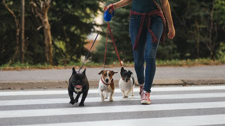 Dog walker crossing a street with dogs. Photo: Getty Images/iStockphoto