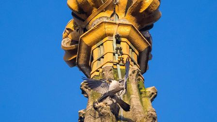 The two peregrine falcons at Norwich Cathedral in 2010. Picture: Chris Skipper