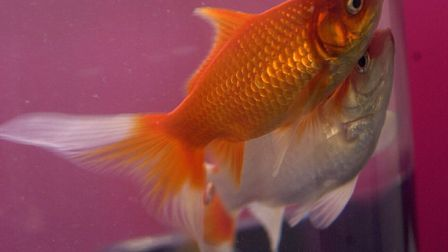 A goldfish was found in the rucksack of a motorcyclist doing 125mph on the A47 Photo: Steve Adams