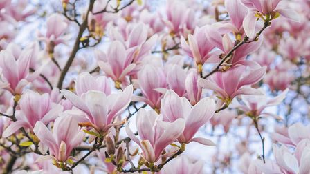 The goblet-shaped flowers of magnolia trees herald spring each year Picture: Getty Images/iSt