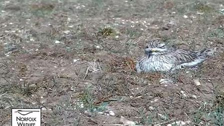 The Stone Curlew, which migrates from southern Europe during the summer season, has returned to its