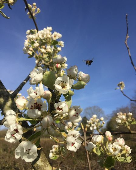 Bees on one of the pear trees at Gressenhall Farm. Picture: Gressenhall Farm