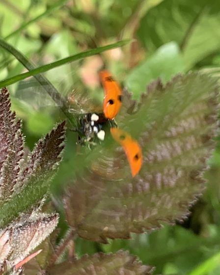 Faye LeBon captured pictures of ladybirds in her garden. Picture: Faye LeBon
