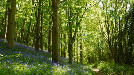 The bluebell path to the everlasting crucian pool Picture: John Bailey