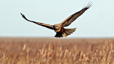 A marsh harrier prowling the reed beds for prey at Norfolk Wildlife Trust's reserve in Cley. Picture