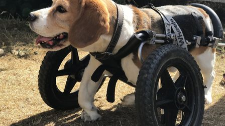 Hector the Beagle, who uses a wheelchair to help him get around. Picture: Neil Didsbury