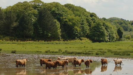 Cattle cool off in a lake at Stiffkey in Norfolk on the hottest day of the year Picture: Chris Bish