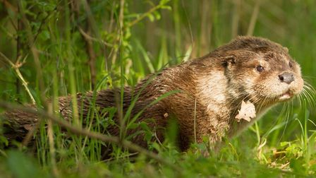 An otter in the wild Picture: Mike Dawson