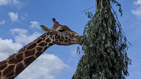 The giraffes enjoying the vegetation food parcel. Pic: submitted