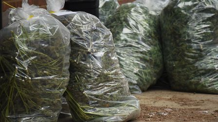 Cannabis plants are bagged up as police clear a cannabis factory found at Lenwade. Picture: DENISE B