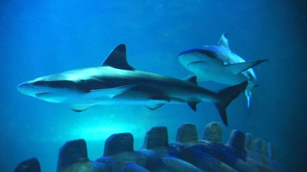 Sharks at Sea Life Hunstanton, which reopens on Saturday, July 4 Picture: Ian Burt