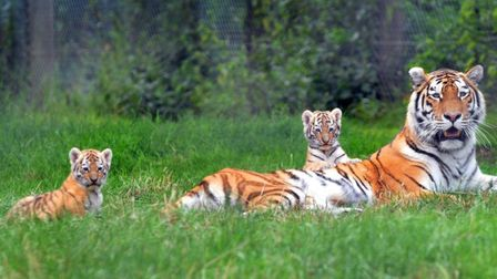 Sveta with her cubs back n 2013. Pic: Archant