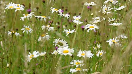 Wildflowers growing in grass margins around the crops at Duncan and Mary MacGregor's farm at Great W