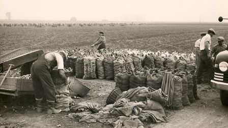 Potato picking in the Fens at Ten Mile Bank. Picture: Discover Downham Heritage