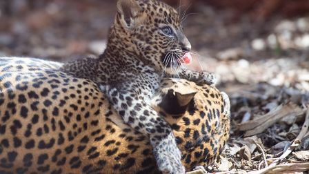 One of the eight-week-old Sri Lankan leopard cubs plays with mother Sariska in their enclosure at Ba