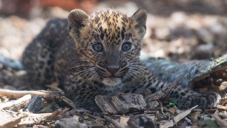 One of the eight-week-old Sri Lankan leopard cubs in their enclosure at Banham Zoo. Picture: Joe Gid