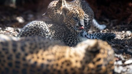 A pair of eight-week-old Sri Lankan leopard cubs play in their enclosure at Banham Zoo. Picture: Joe