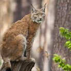 The WildEast movement has reignited the debate over whether the Eurasian lynx should be reintroduced
