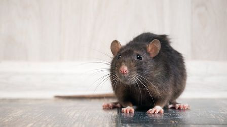Rat infestations have soared during lockdown, according to Aviva Picture: Getty