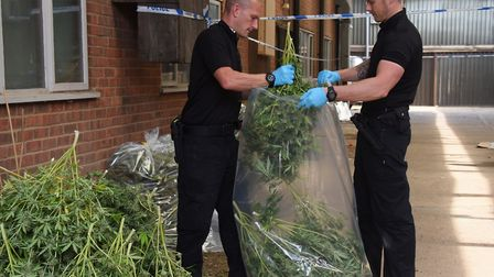 Cannabis plants are bagged up as police clear premises on an industrial estate at Lenwade. Picture: