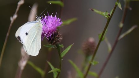 A cabbage white butterfly on a thistle in Alan and Lynne Burgess' wildlife oasis at Gimingham. Pictu