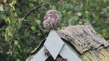 A little owl at the one-acre re-wilding project created by Alan and Lynne Burgess at their home in G
