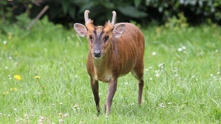 A muntjac deer at the one-acre re-wilding project created by Alan and Lynne Burgess at their home in