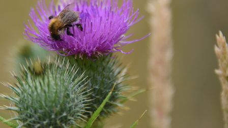 A bee on a thistle in Alan and Lynne Burgess' wildlife oasis at Gimingham. Picture: DENISE BRADLEY